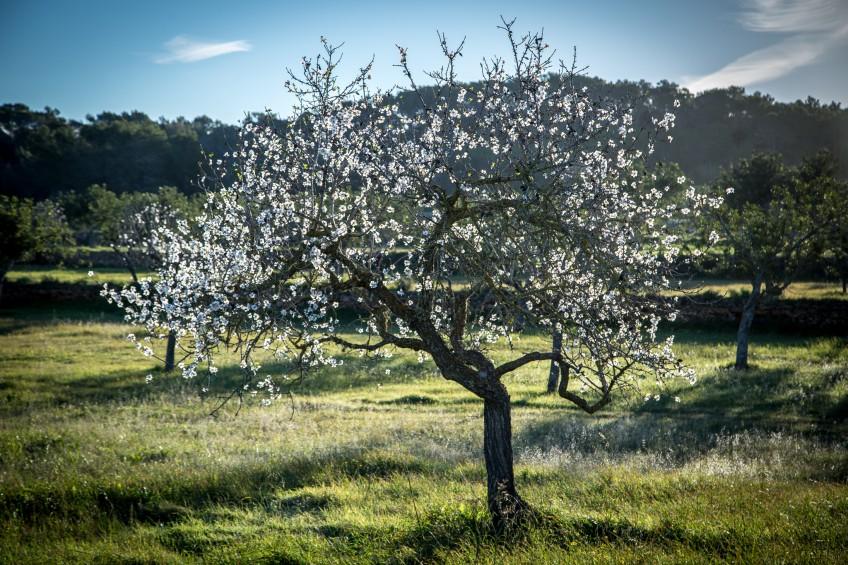 2019 Blossoming in Santa Inés, Ibiza | Can Pujolet Rural